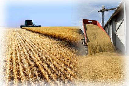 wheat-grain2